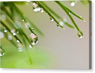 Canvas Print featuring the photograph Raindrops On Needles by Trevor Chriss