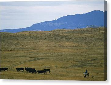 Cattle Dog Canvas Print - Rancher Moves His Cattle Under Little by Gordon Wiltsie