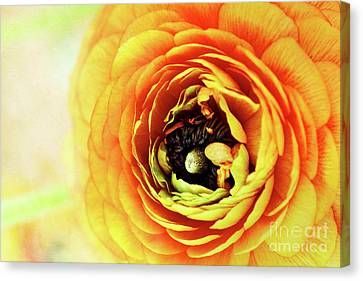 Ranunculus In Orange Canvas Print by Stephanie Frey