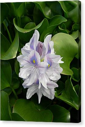 Rare Hawain Water Lilly Canvas Print by Claude McCoy