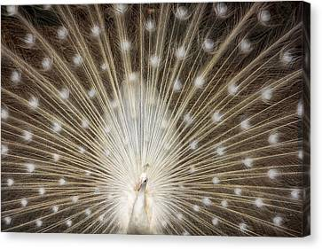 Rare White Peacock Canvas Print by Larry Marshall