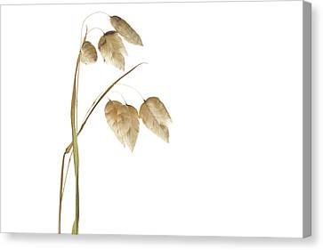Rattlesnake Grass Number 2 Canvas Print by Carol Leigh