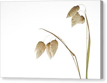Rattlesnake Grass Number 3 Canvas Print by Carol Leigh