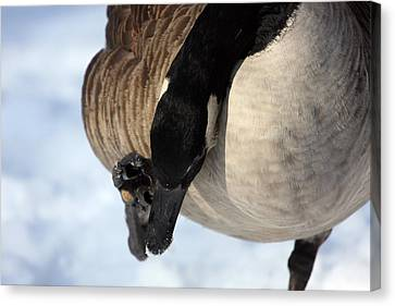 Geese Canvas Print - Reach For It by Karol Livote