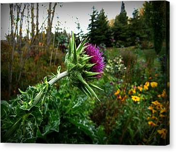 Reaching Milk Thistle Canvas Print by Shirley Sirois
