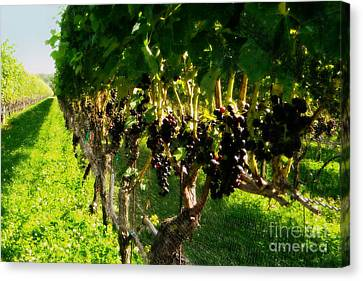 Ready For Harvest Canvas Print by Gladys Steele