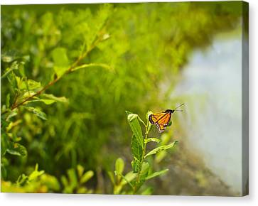 Canvas Print featuring the photograph Ready Set Go Viceroy Butterfly by Marianne Campolongo