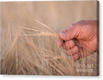 Ready To Harvest Canvas Print by Cindy Singleton
