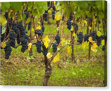 Pinot Noir Canvas Print - Ready To Pick by Jean Noren