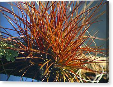 Canvas Print featuring the photograph Red Air Plant by Jeanne Andrews