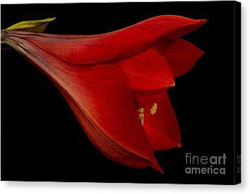 Crimson Lilies Canvas Print - Red Amaryllis - 1 by Ann Garrett