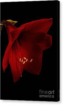 Crimson Lilies Canvas Print - Red Amaryllis - 2 by Ann Garrett