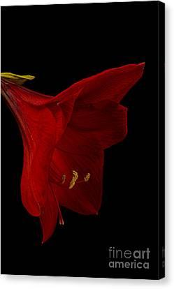 Crimson Lilies Canvas Print - Red Amaryllis - 3 by Ann Garrett