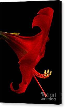 Crimson Lilies Canvas Print - Red Amaryllis - 4 by Ann Garrett