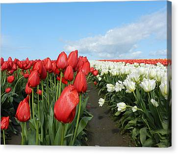 Canvas Print featuring the photograph Red And White Tulips by Karen Molenaar Terrell