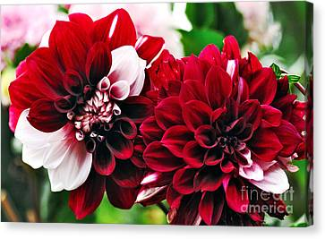 Red And White Variegated Dahlia Canvas Print by Kaye Menner
