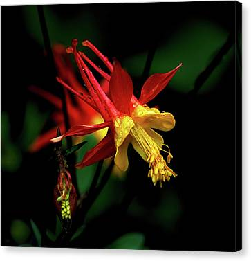 Red And Yellow Columbine Canvas Print by John Brink