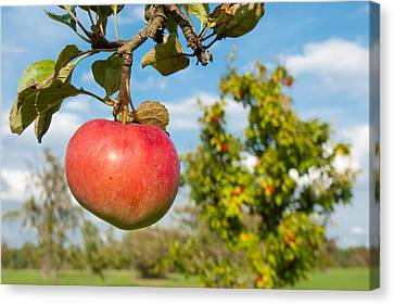 Red Apple On Branch Of Tree Canvas Print by Matthias Hauser