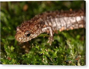 Red-backed Salamander Canvas Print by Ted Kinsman