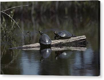 Red Bellied Turtles Sun On A Log Canvas Print by Bill Curtsinger