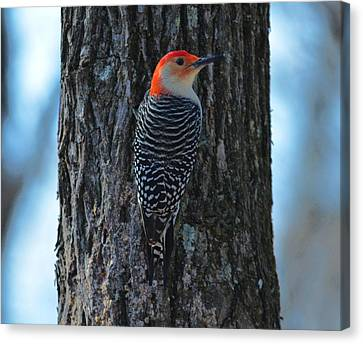 Canvas Print featuring the photograph Red-bellied Woodpecker by Brian Stevens