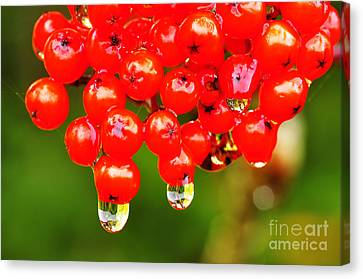 Red Berries And Raindrops Canvas Print by Thomas R Fletcher