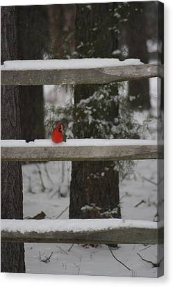 Canvas Print featuring the photograph Red Bird by Stacy C Bottoms