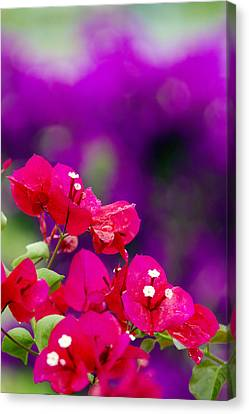Red Bougainvillaeas Canvas Print by Ron Dahlquist