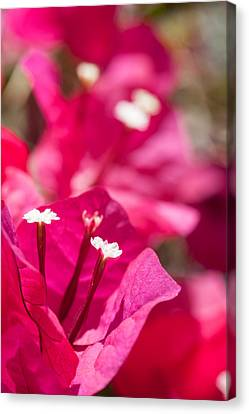 red Bougainvillea Canvas Print by Ralf Kaiser