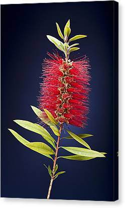 Red Brush Canvas Print by Kelley King