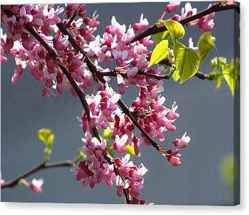 Red Bud In Blooms Canvas Print by Alfred Ng