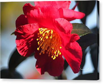 Red Camellia Afternoon Macro Canvas Print