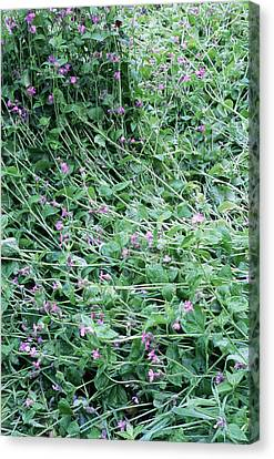 Red Campion (silene Dioica) Canvas Print by Maxine Adcock