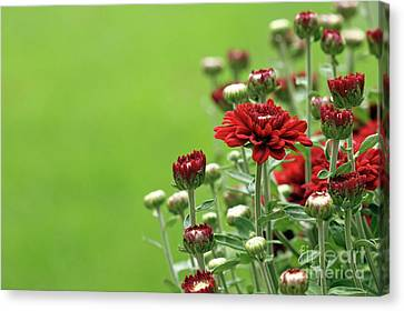 Canvas Print featuring the photograph Red Chrysanthemum by Denise Pohl