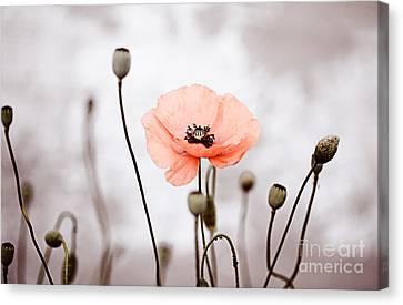 Red Corn Poppy Flowers 01 Canvas Print by Nailia Schwarz