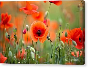 Red Corn Poppy Flowers 05 Canvas Print