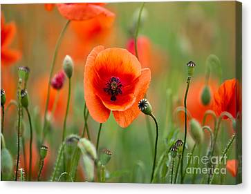 Red Corn Poppy Flowers 07 Canvas Print by Nailia Schwarz