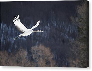 Red Crowned Crane Canvas Print by Alexandre Shimoishi