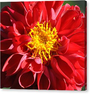 Canvas Print featuring the photograph Red Dahlia by Jodi Terracina