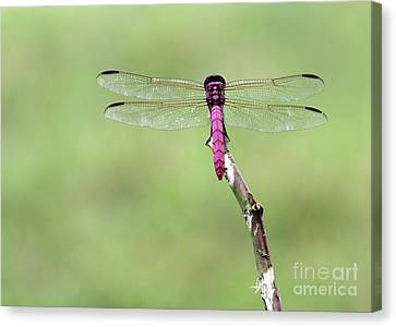 Red Dragonfly Dancer Canvas Print by Sabrina L Ryan