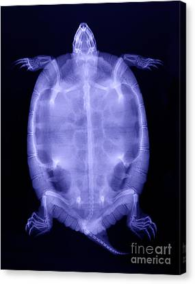 Slider Canvas Print - Red-eared Slider Turtle X-ray by Ted Kinsman