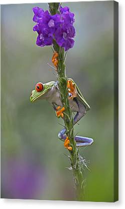 Red Eyed Tree Frog Climbing On Flower Canvas Print