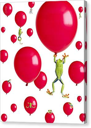 Red-eyed Treefrogs Floating On Red Canvas Print