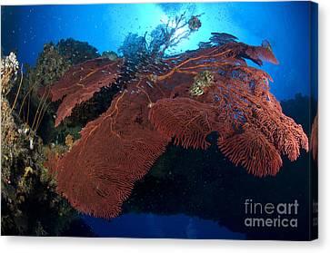 Red Fan Cora With Sunburst, Papua New Canvas Print by Steve Jones