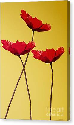 Red-flowered Corn Poppies Canvas Print