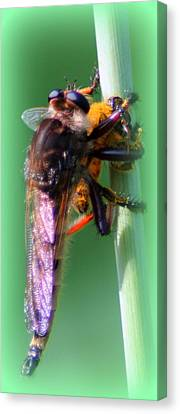 Red-footed Cannibal Fly With His Prey Canvas Print by Maureen  McDonald