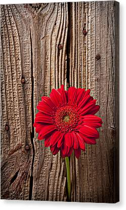 Red Gerbera Daisy With Wooden Wall Canvas Print by Garry Gay