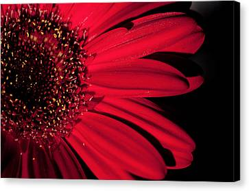 Red Gerbera Canvas Print by Laura Melis