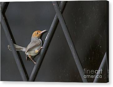 Canvas Print featuring the photograph Red Headed Tailorbird. by Gary Bridger