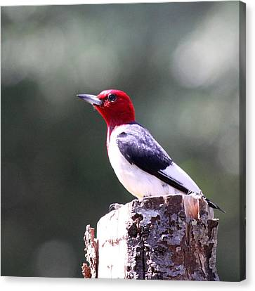 Red-headed Woodpecker - Statue Canvas Print